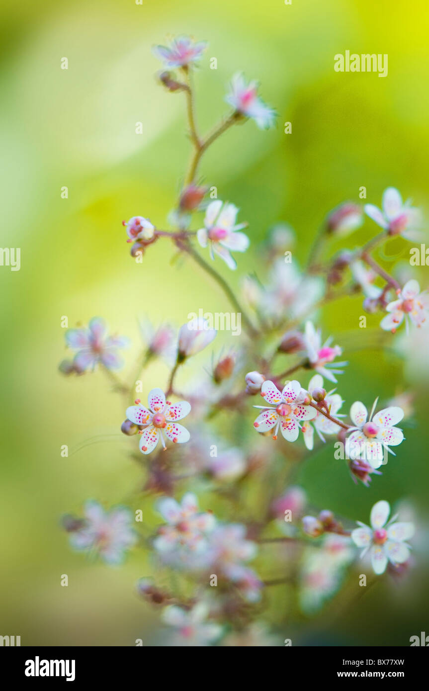 The delicate little flowers of Saxifraga urbium - London Pride - Stock Image