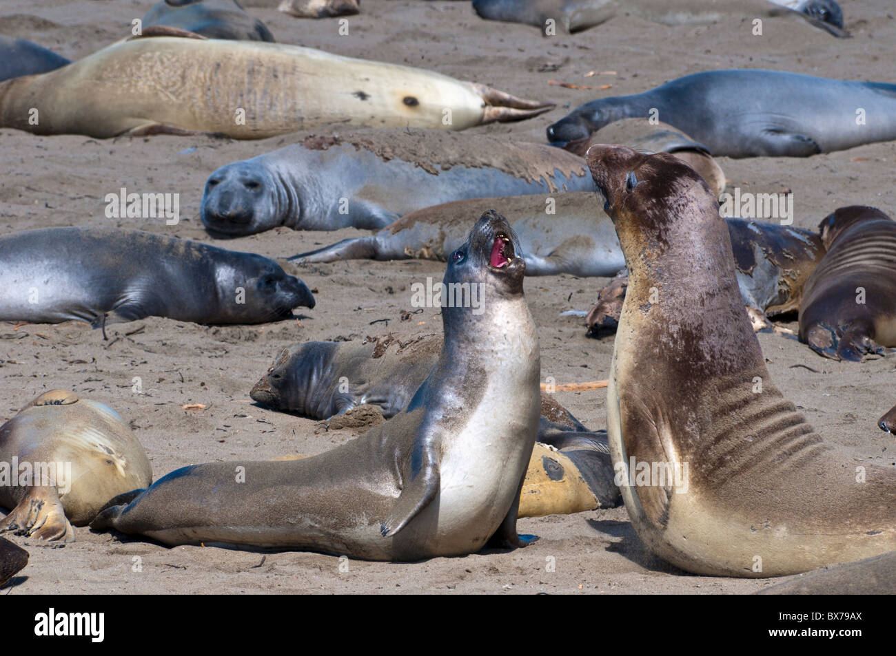 Elephant seals moulting, Piedras Blancas (White Rocks), Highway 1, California, United States of America, North America - Stock Image