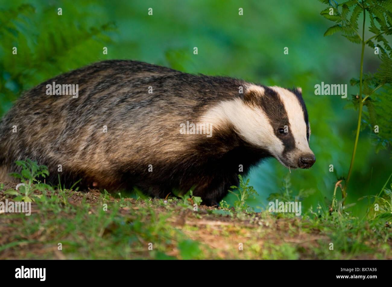 Badger in bracken Stock Photo