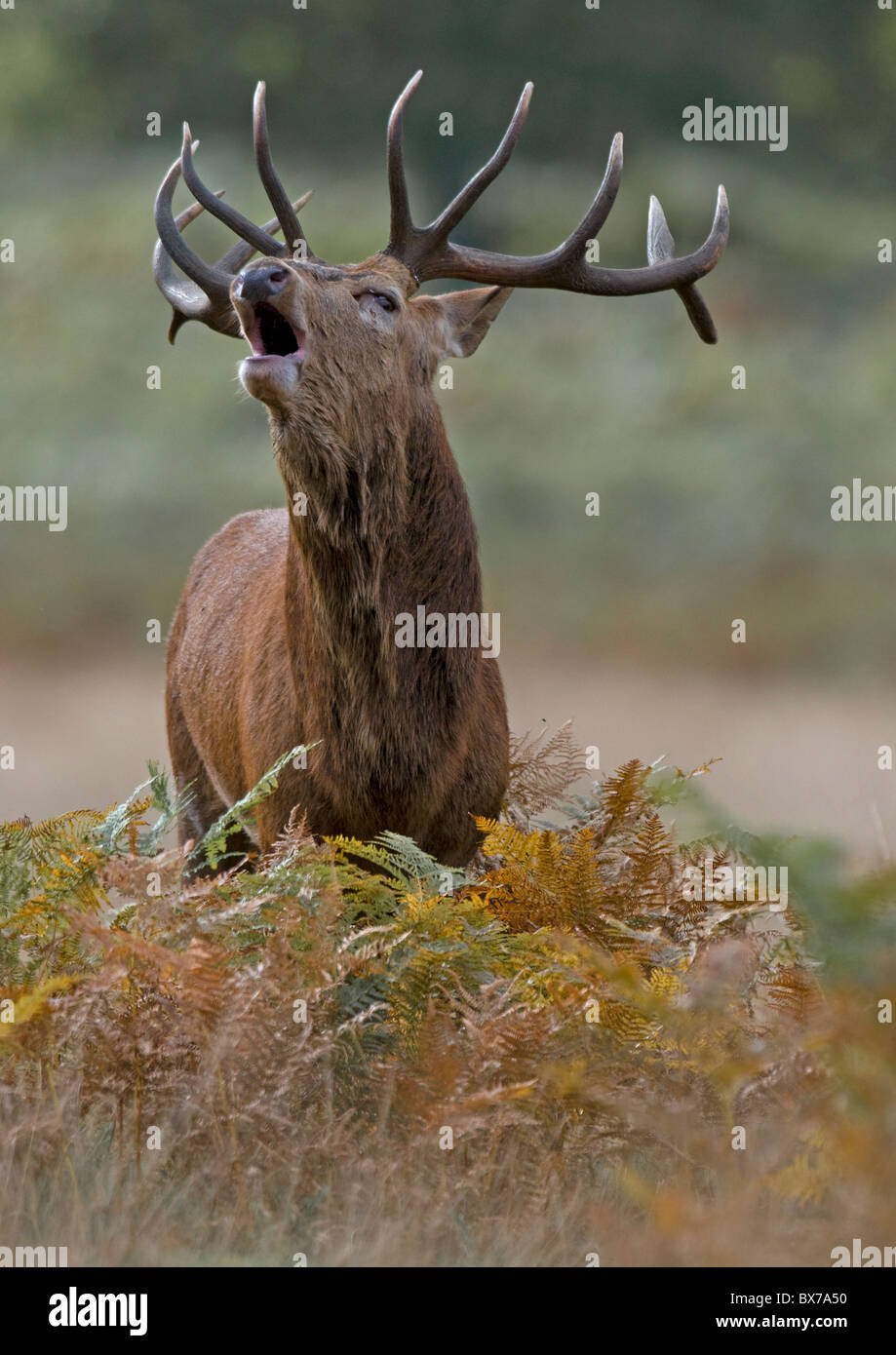 Red Deer stag roaring during the Autumn Rut Stock Photo