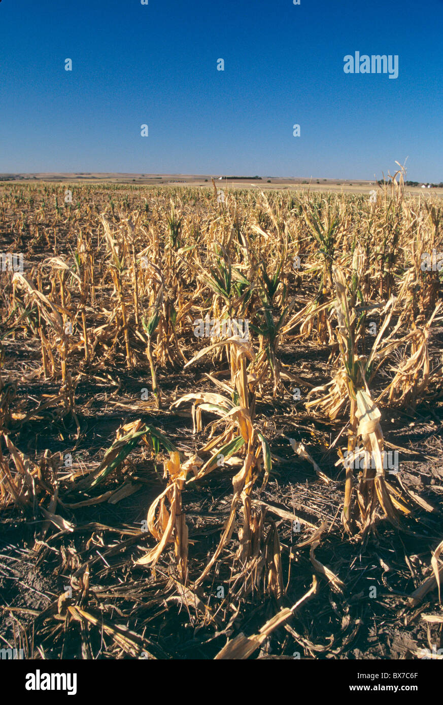 Crop failure due to drought & hail, - Stock Image