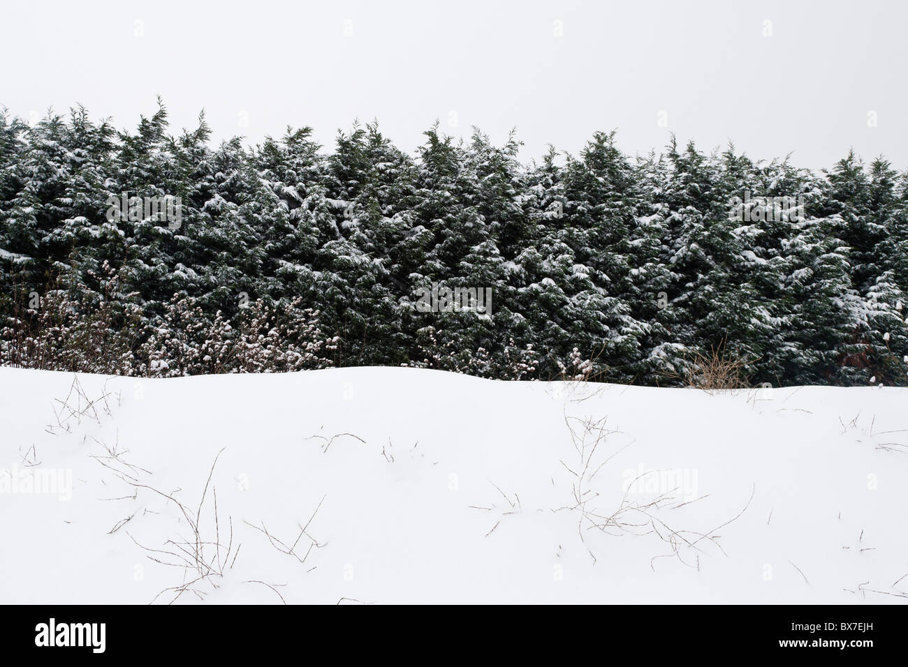 Row of Conifer Trees in Snow - Stock Image