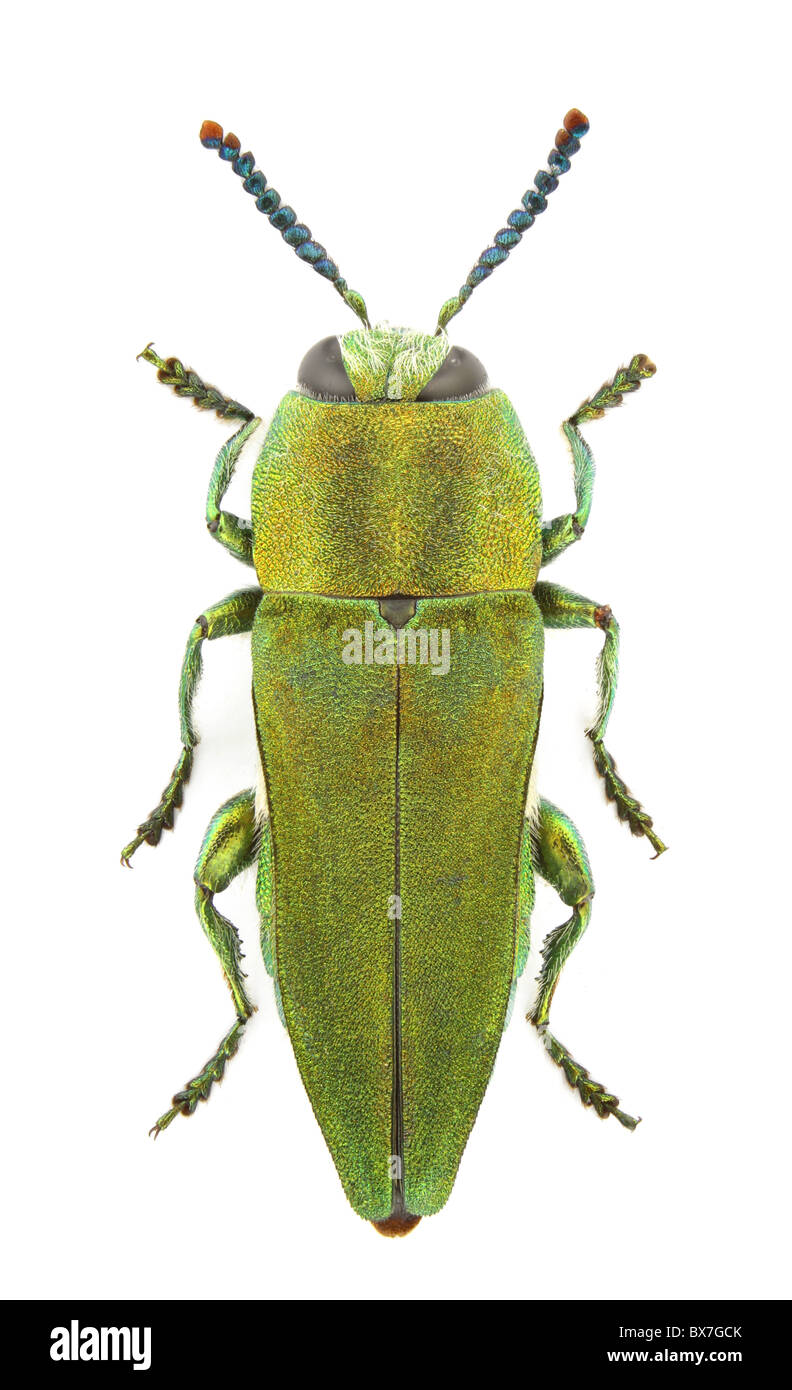 Anthaxia hungarica (Jewel beetle) isolated on a white background. - Stock Image
