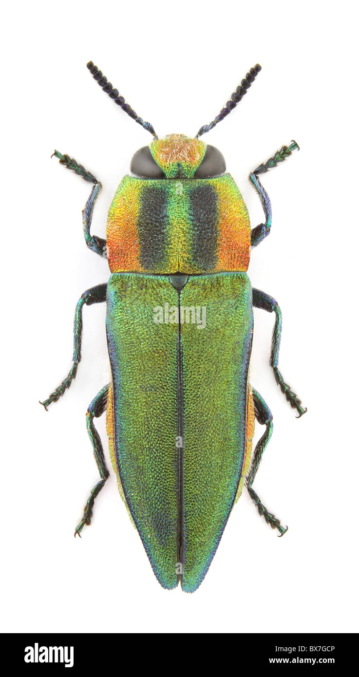 Female of Anthaxia hungarica (Jewel beetle) isolated on a white background. - Stock Image
