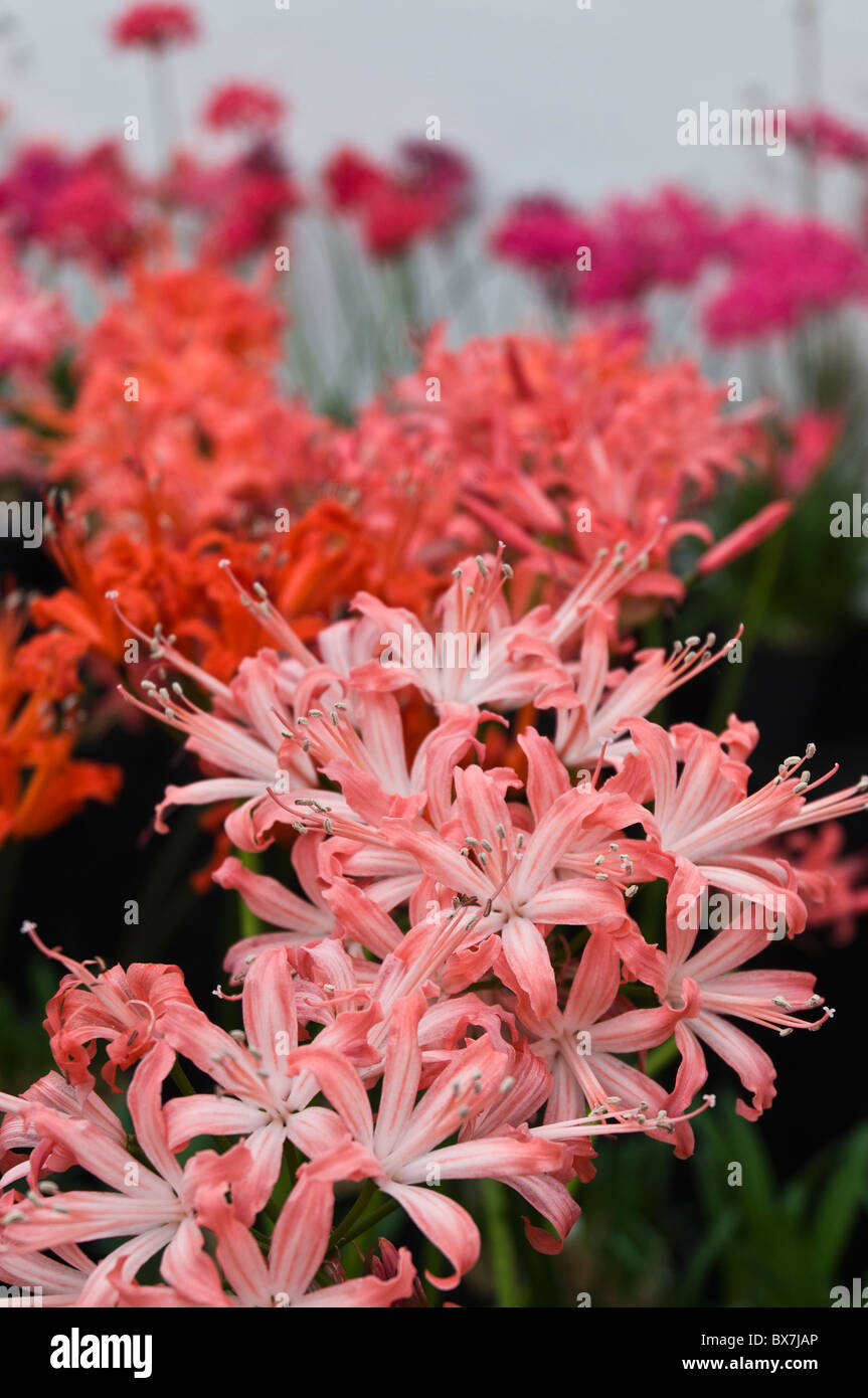 dh Guernsey lily LILIES UK Closeup Bunches Guernsey lilies Candie park greenhouse pink flower close up - Stock Image