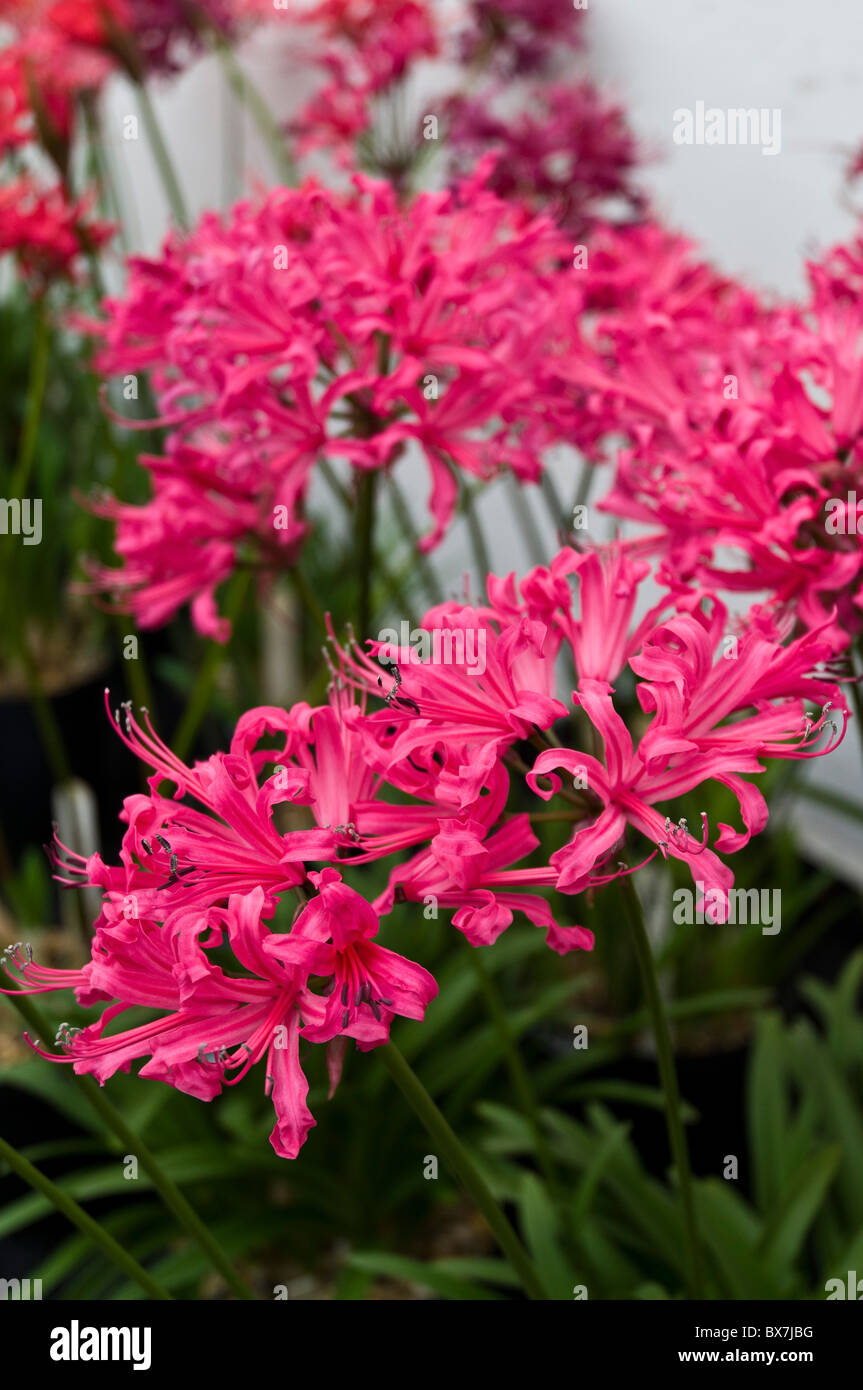 dh Guernsey lily LILIES GUERNSEY Bunches of Guernsey lilies displayed in Candie park greenhouse pink flower - Stock Image