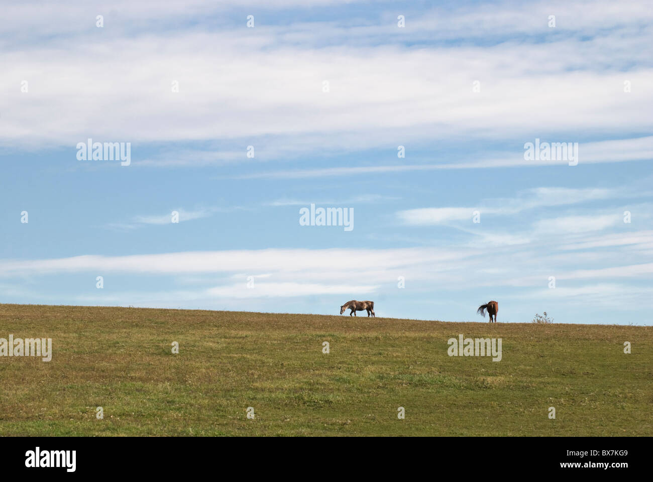 Horses grazing on the horizon under big open blue sky, fair weather landscape in Pennsylvania, USA. - Stock Image