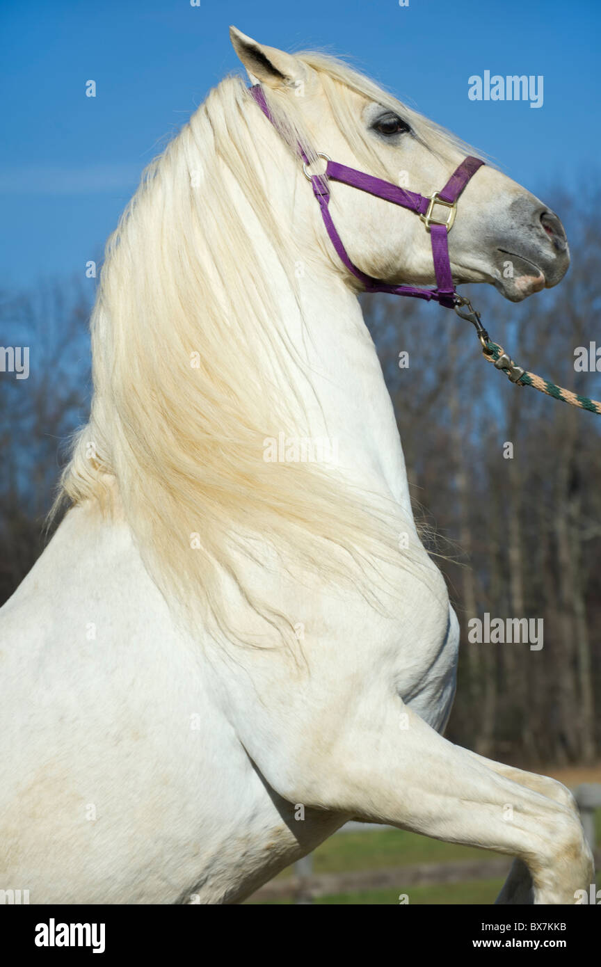 Close up of a white purebred Arabian stallion with flowing mane, rearing, performing trick. - Stock Image