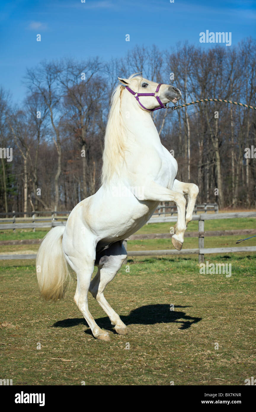 White horse rearing, Arabian stallion showing his power, form, and poise while performing a trick, minute amount - Stock Image