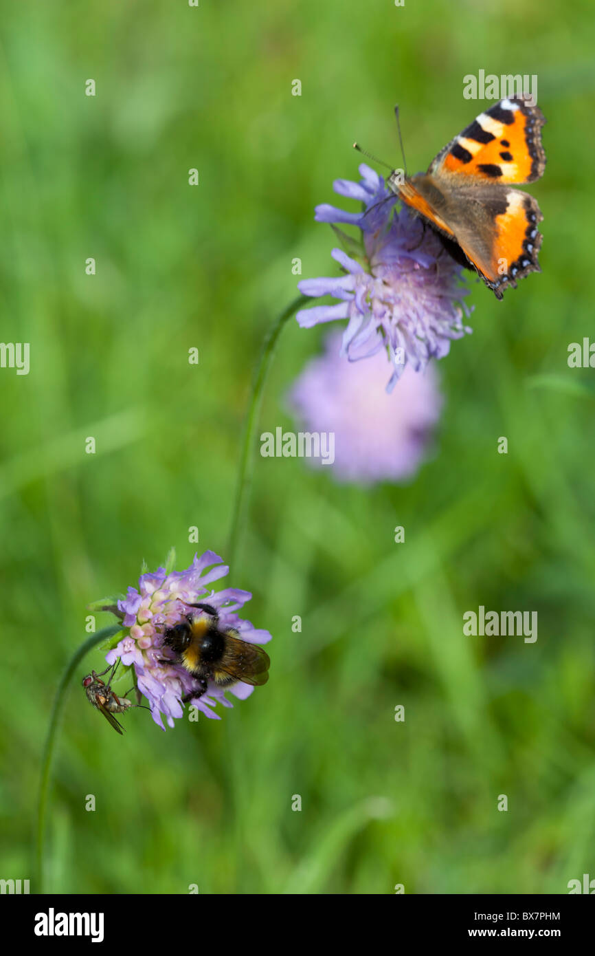 Small tortoiseshell (  Aglais urticae ) butterfly and a bee sucking nectar from thrift ( Armeria maritima ) flowers - Stock Image