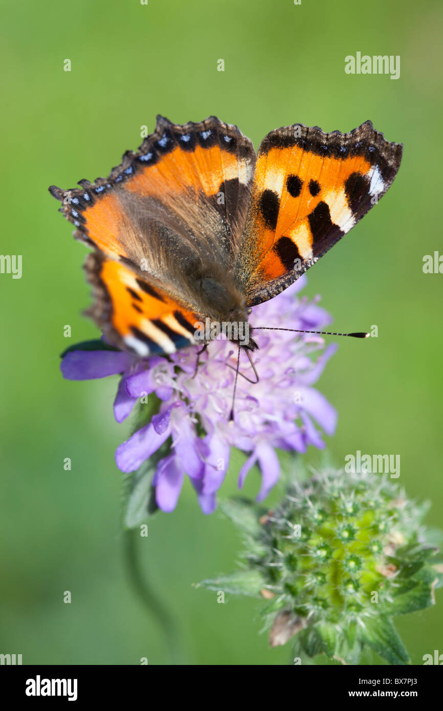 Small tortoiseshell (  Aglais urticae , Nymphalidae , Nymphalinae ) butterfly sucking nectar from a thrift ( Armeria Stock Photo
