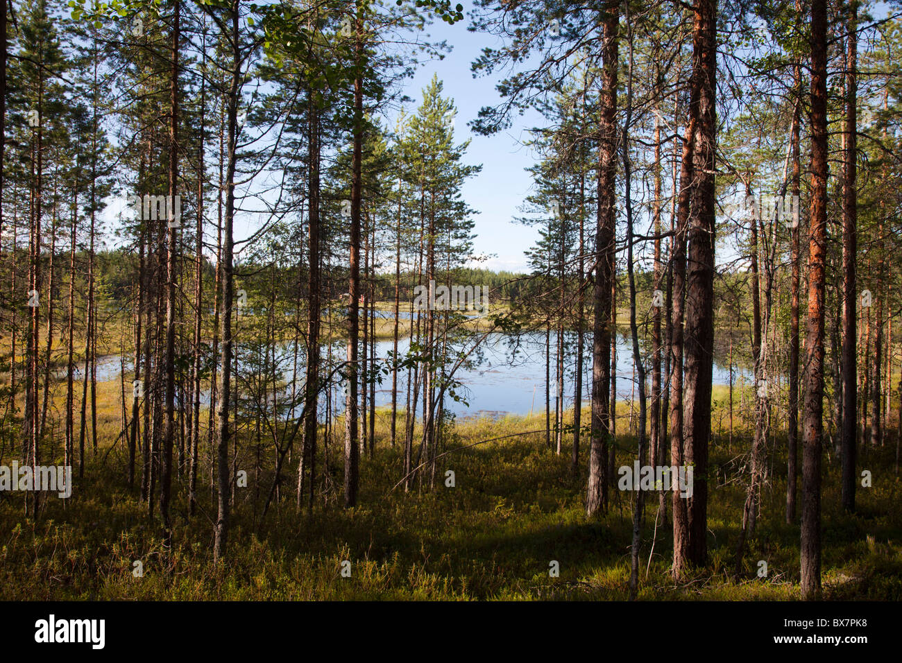 Small marsh lake in the middle of the forest , Finland - Stock Image