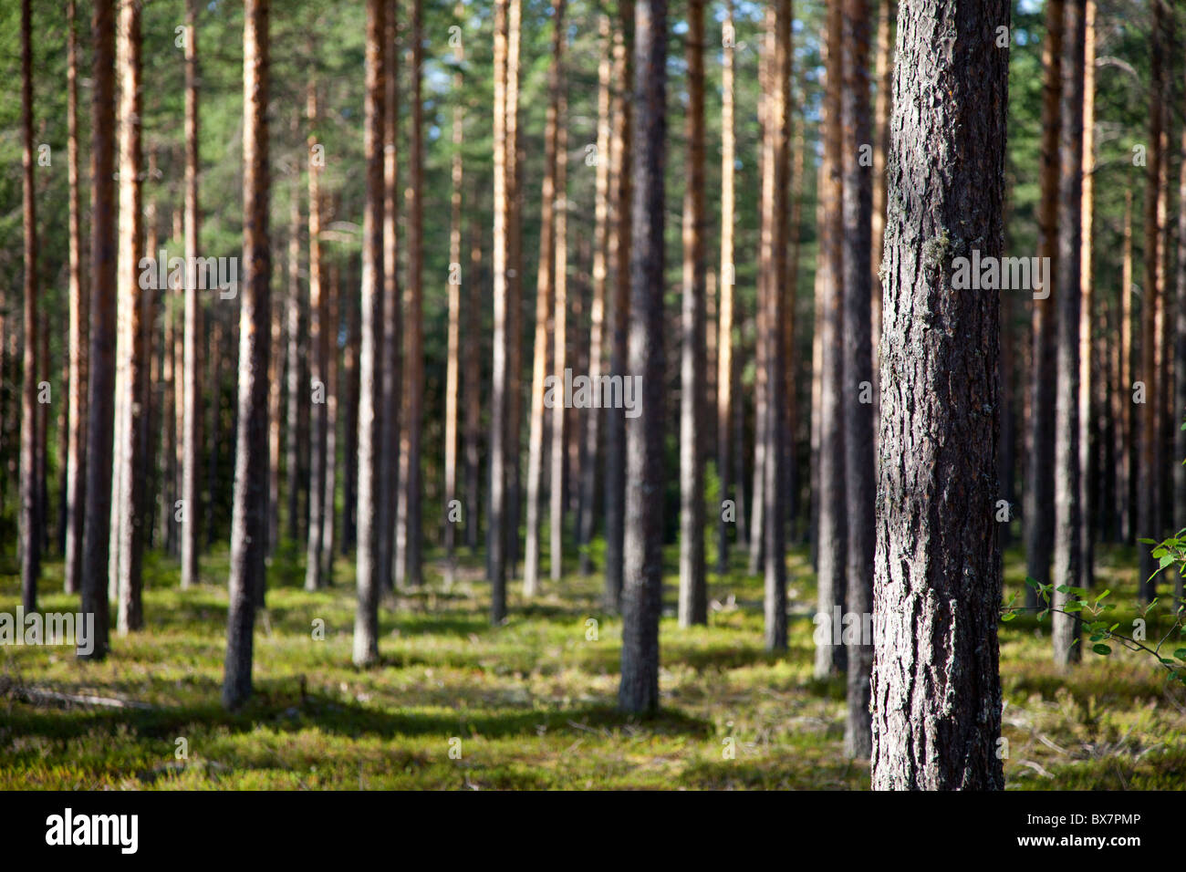 Finnish pine forest ( pinus sylvestris ) growing in dry  heath or esker , Finland - Stock Image