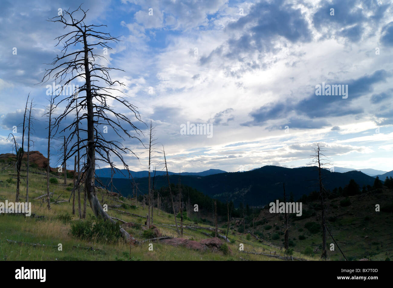 Trees and forest after the fire - Stock Image