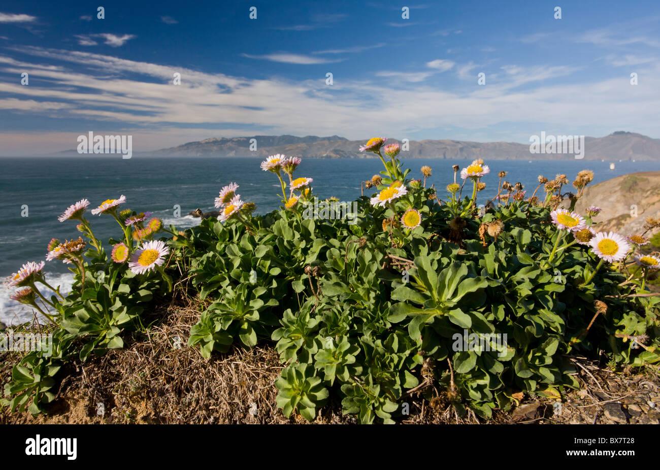 Seaside fleabane, Beach aster, or Seaside daisy Erigeron glaucus in native habitat on cliffs, San Francisco Bay, California. Stock Photo