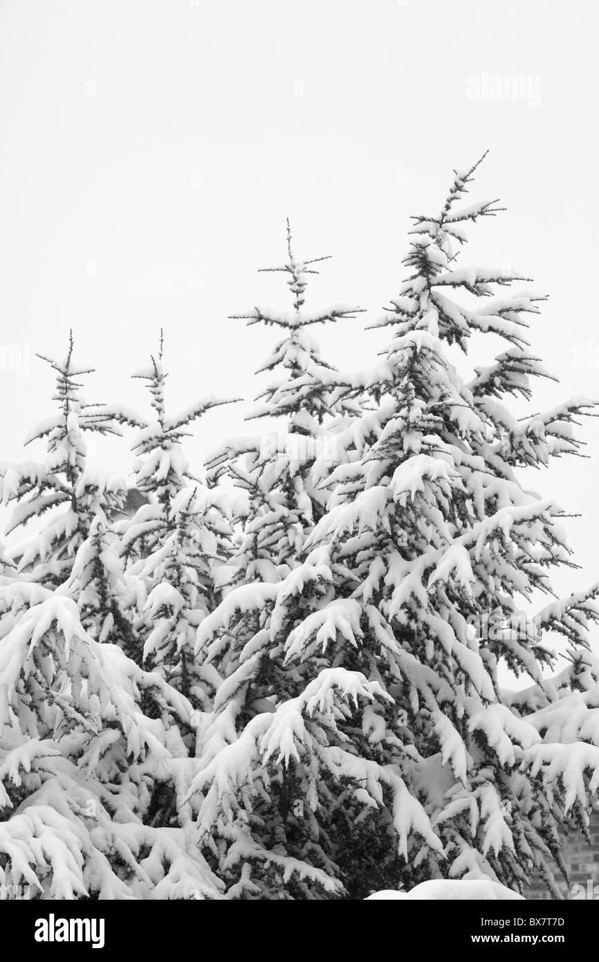 snow covered pine tree - Stock Image