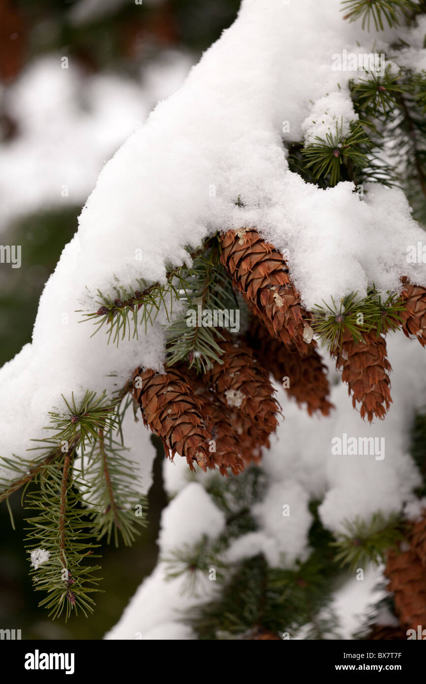 branch of pine tree with cones snow covered - Stock Image
