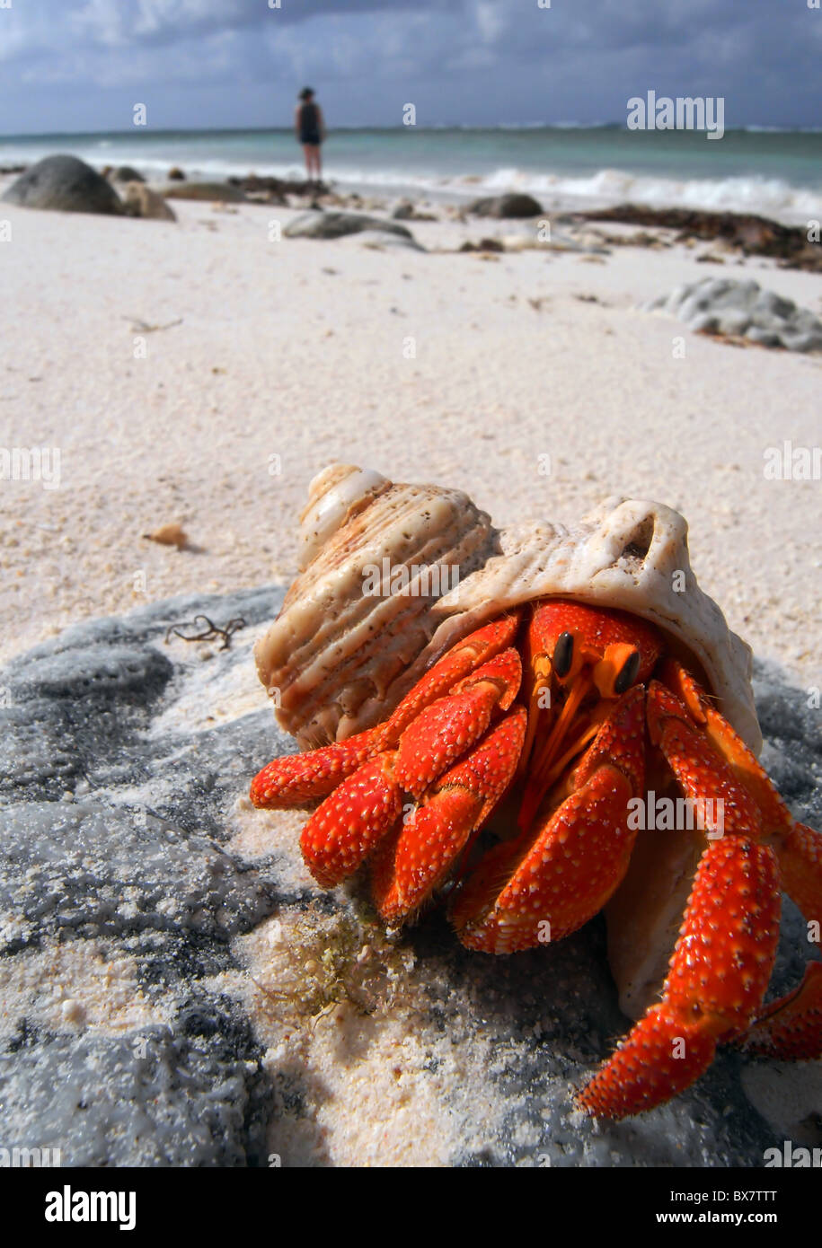 Hermit crab (Coenobita sp.) on the beach of West Island, Cocos Keeling, Indian Ocean - Stock Image