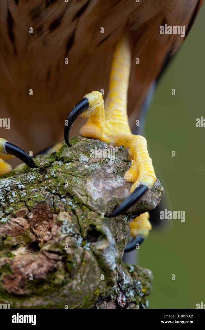 Merlin ( Falco columbarius), talons Stock Photo