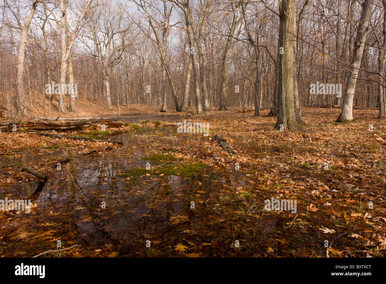 White Oak and Northern Red Oak woodland in Peebles Island State Park, Albany, New York. - Stock Image