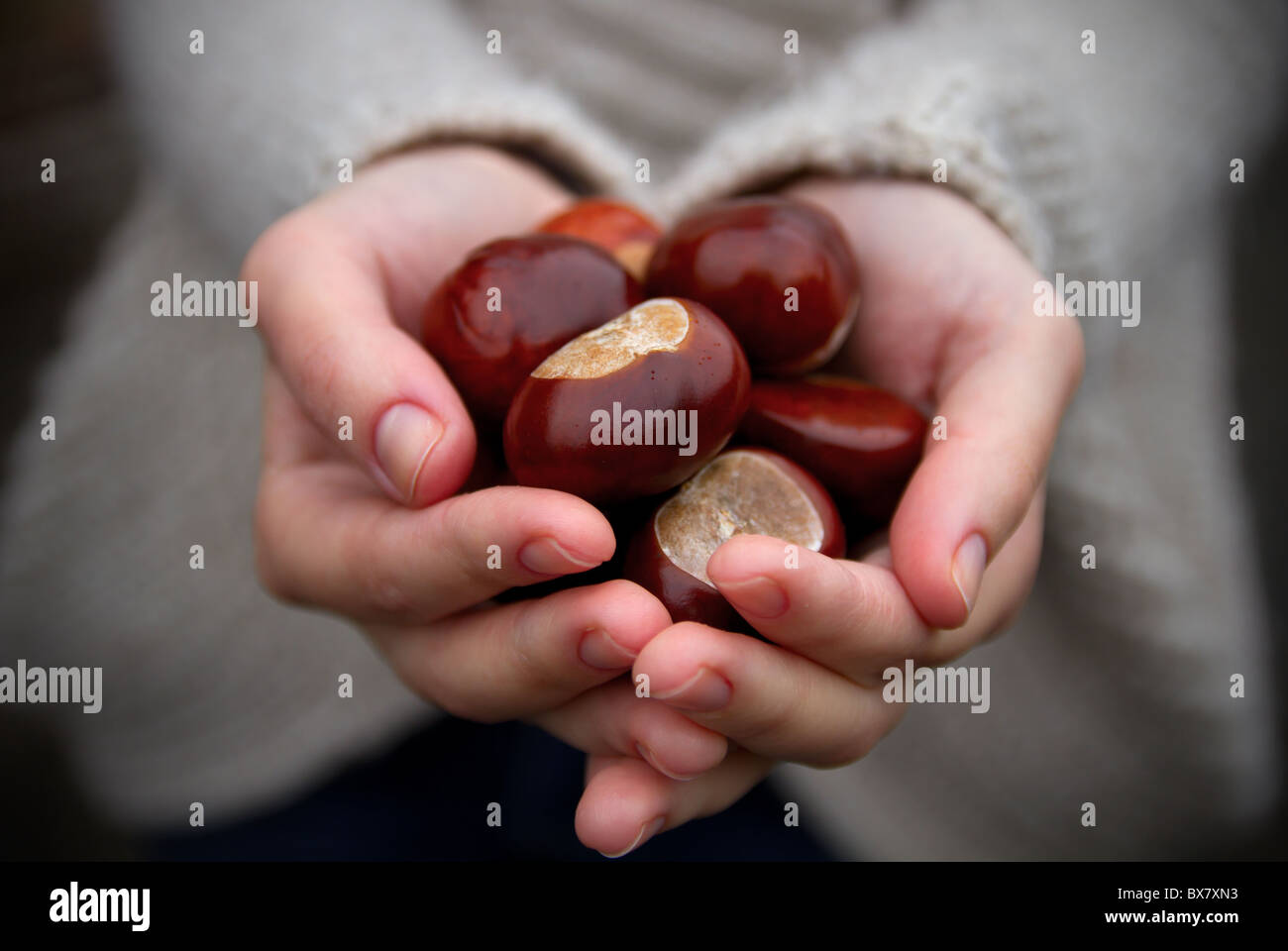 Handful of conkers with slight added vignette. - Stock Image