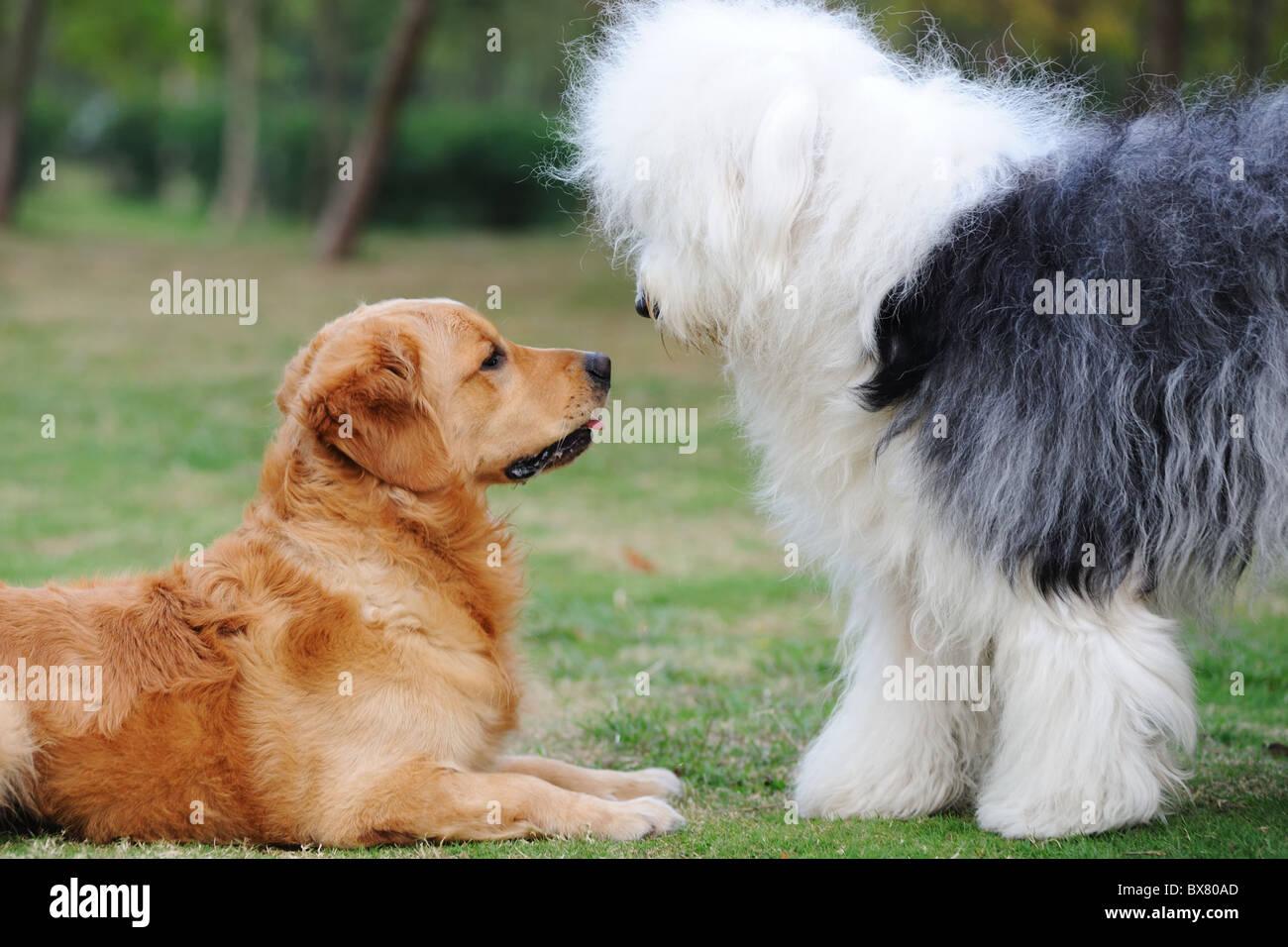 Old English Sheepdog Puppy Stock Photos & Old English