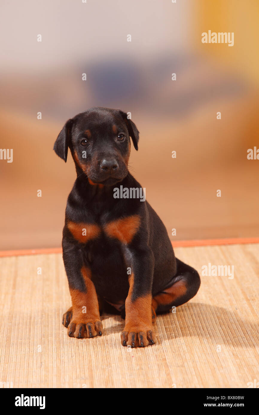 Dobermann Pinscher, puppy, 5 weeks - Stock Image
