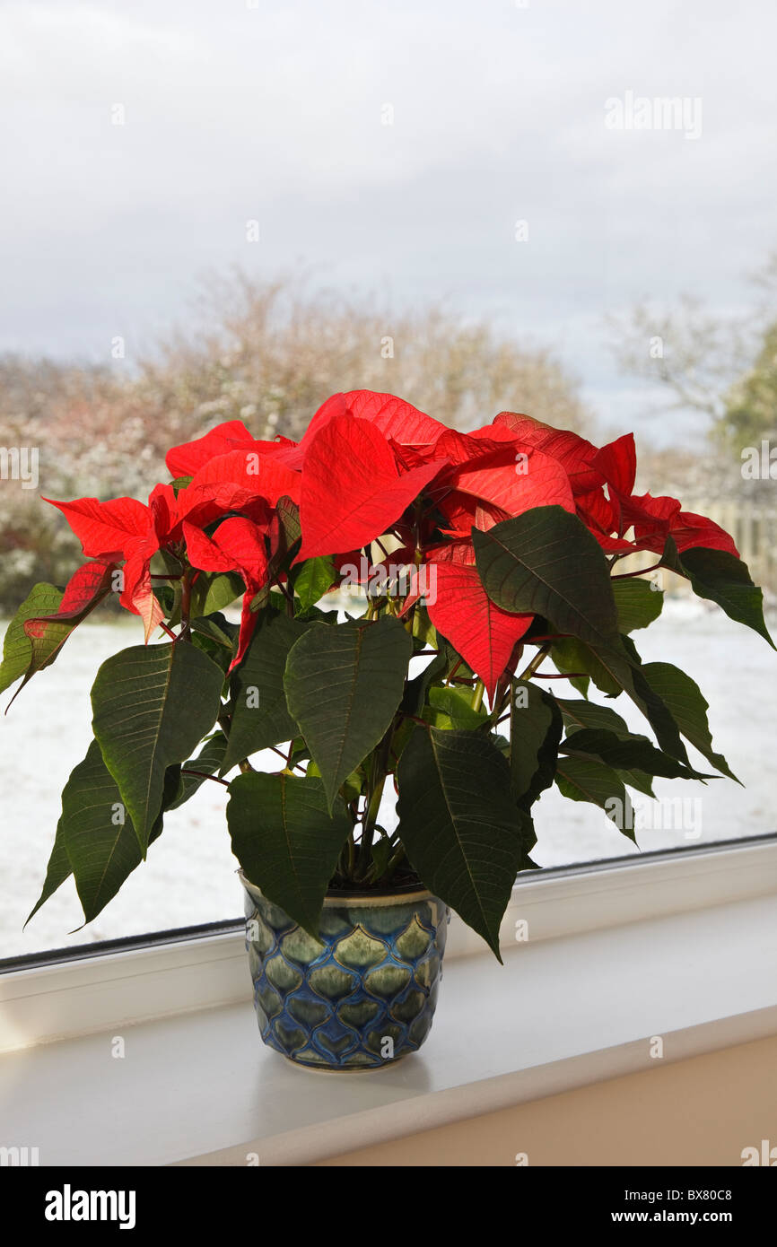 Poinsettia (Euphorbia pulcherrima) pot plant houseplant on an indoor windowsill with snow outside in winter. England - Stock Image
