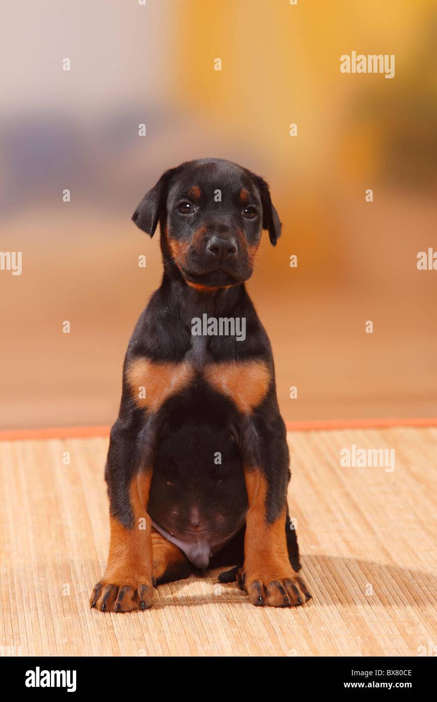 Dobermann Pinscher, puppy, 5 weeks - Stock Image