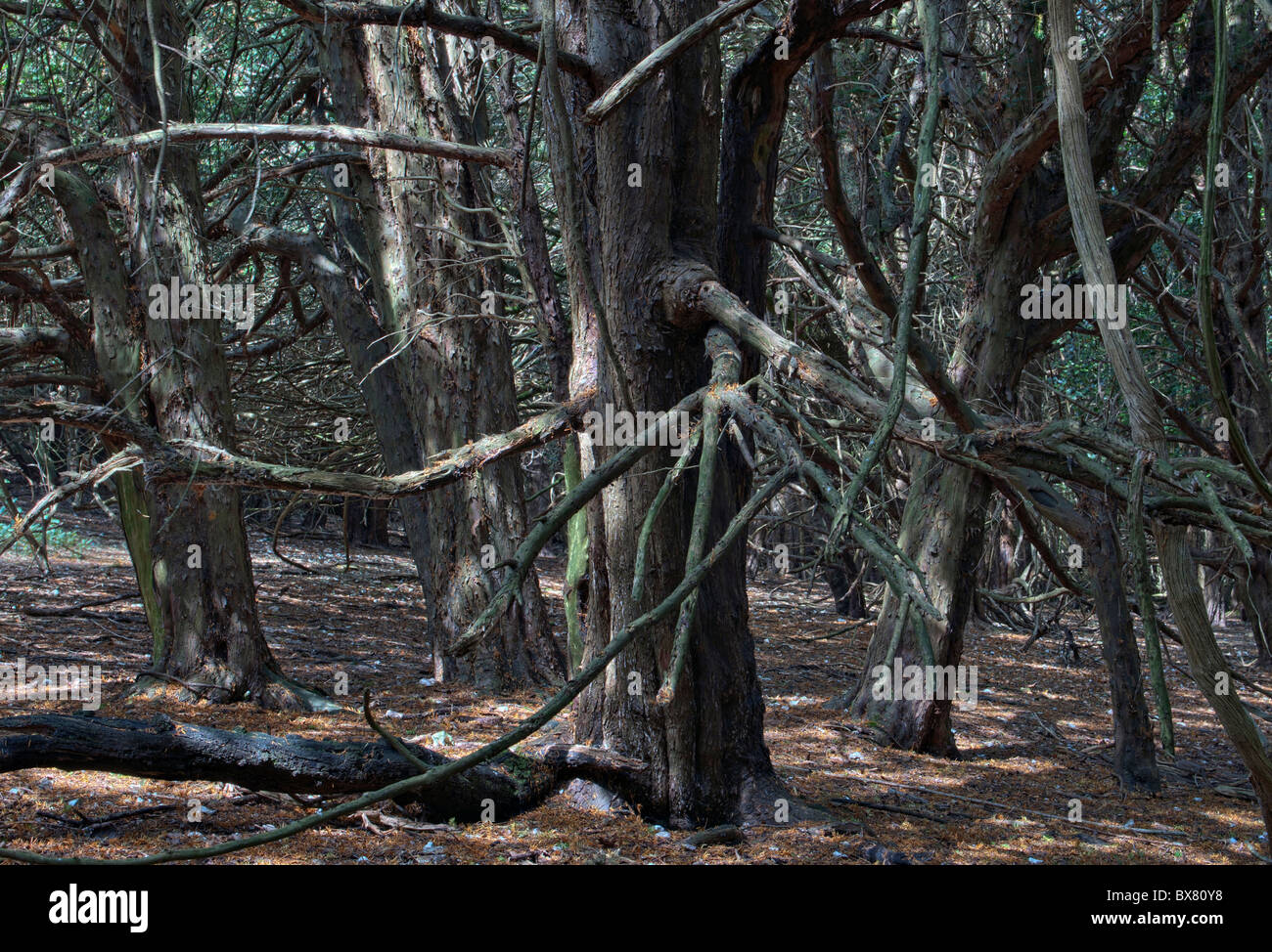 Yew Trees, Kingley Vale, West Sussex - Stock Image
