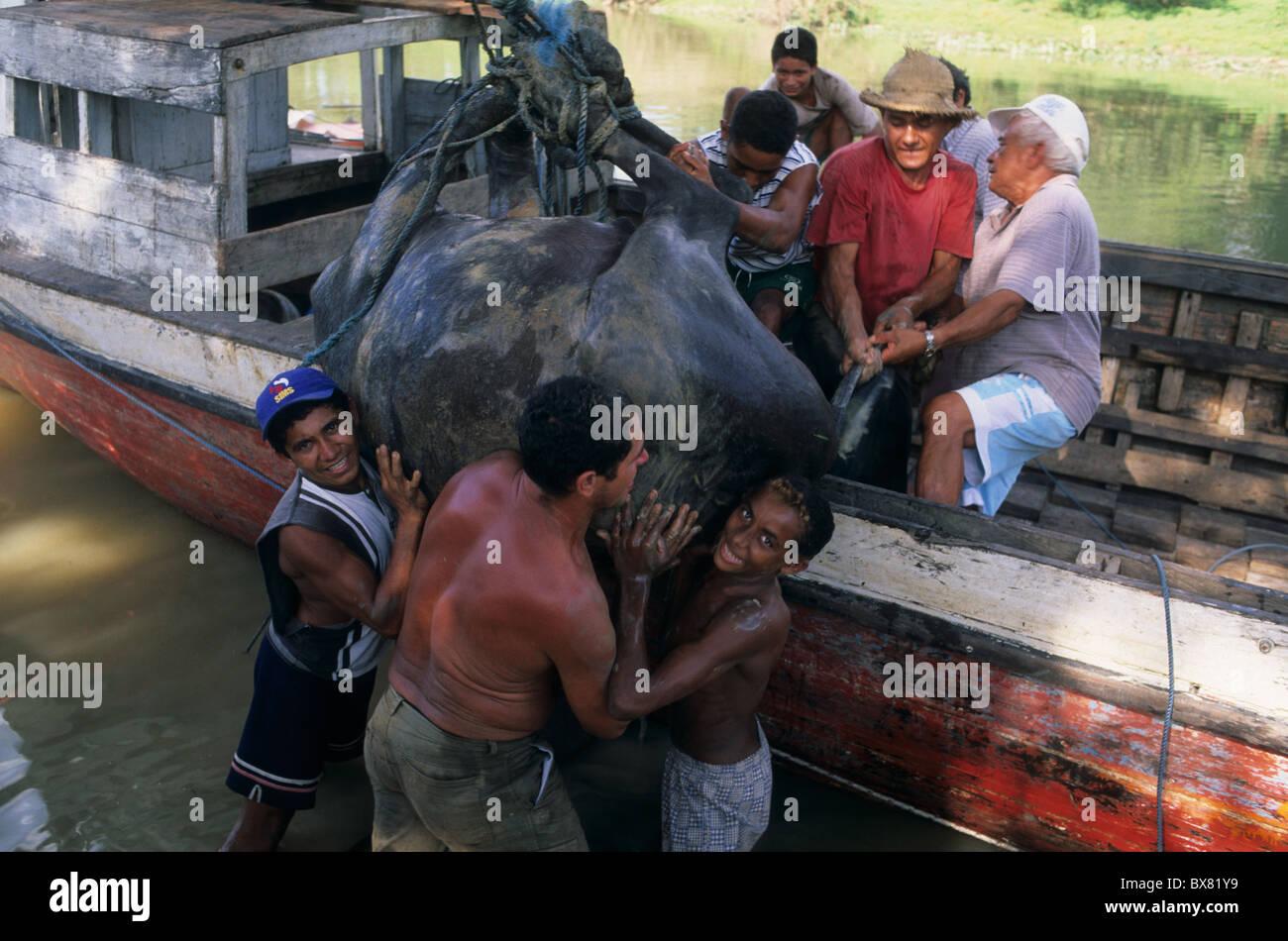 Loading buffalo boat. Camutins MARAJO ISLAND  State of Pará. BRAZIL (Amazon) - Stock Image