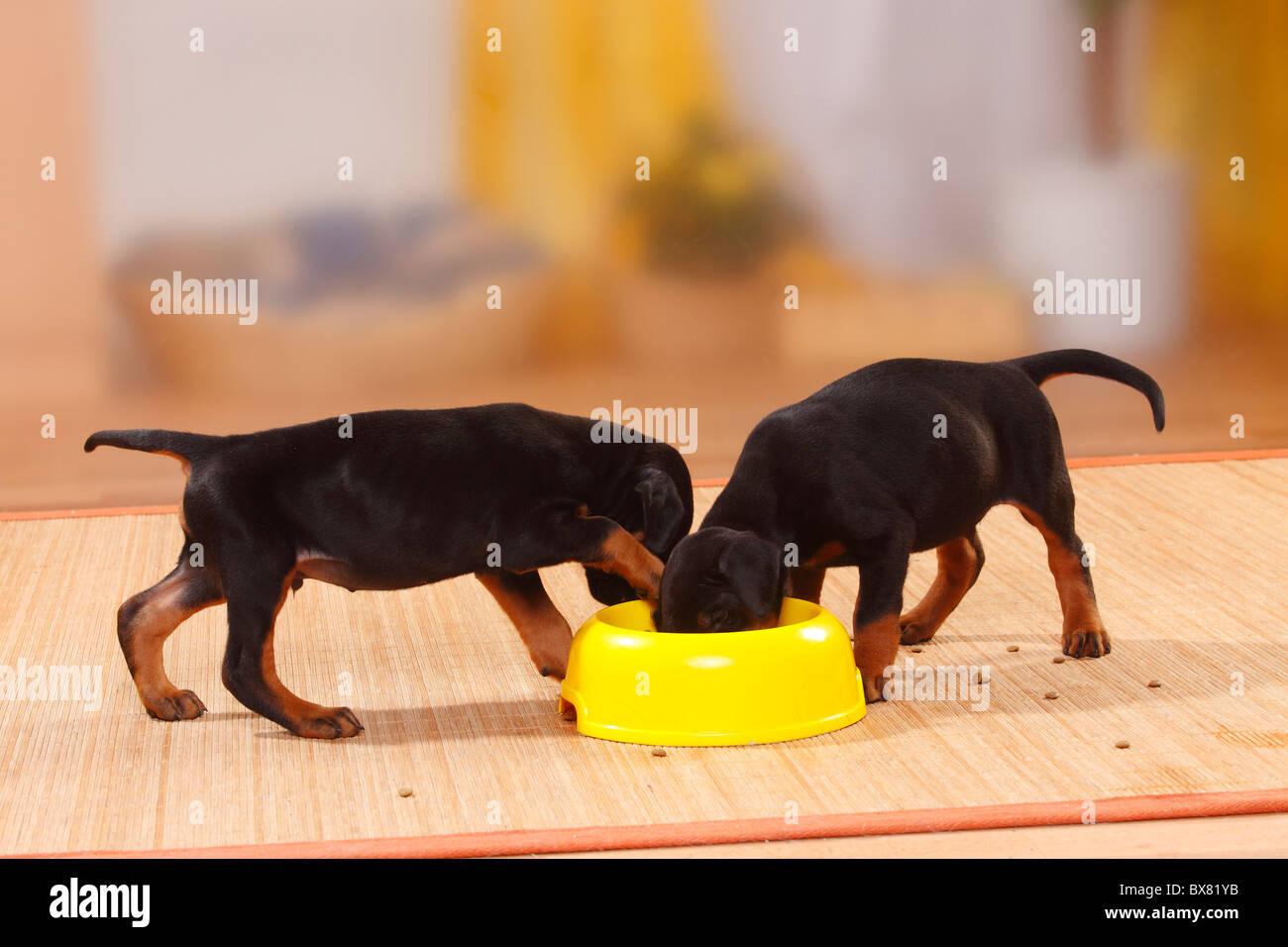 Dobermann Pinscher, puppies, 5 weeks / bowl - Stock Image