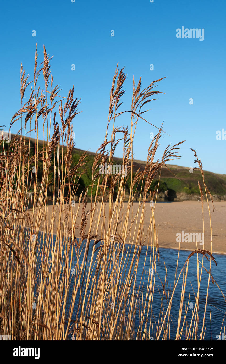 a reed bed near the beach at Holywell bay in Cornwall, UK - Stock Image