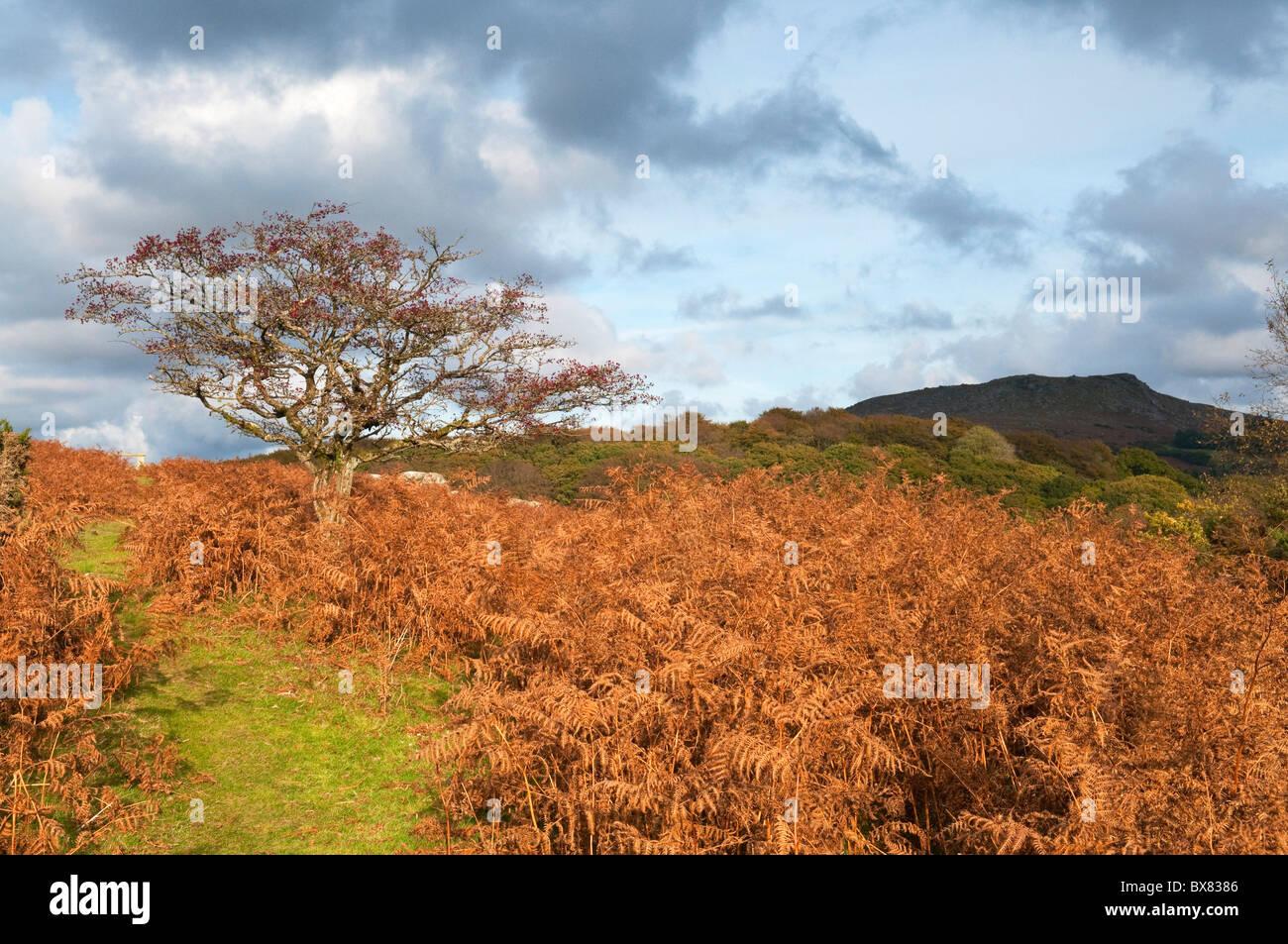 Russet red bracken and hawthorn tree in autumn on Dartmoor, Devon UK - Stock Image