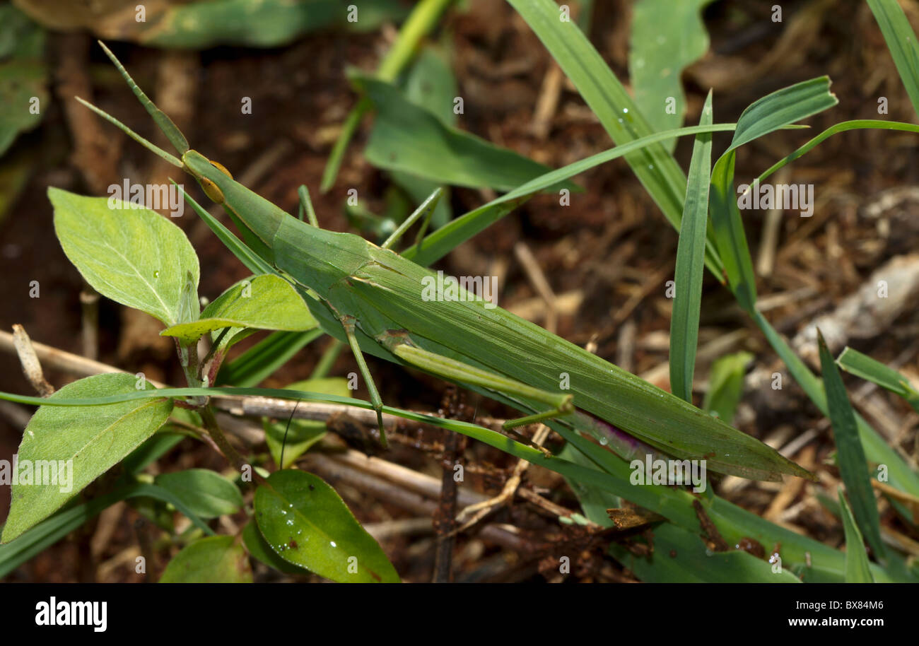 Slant-faced grasshopper (Acrida species)  showing remarkable resemblance to blades of grass - Stock Image