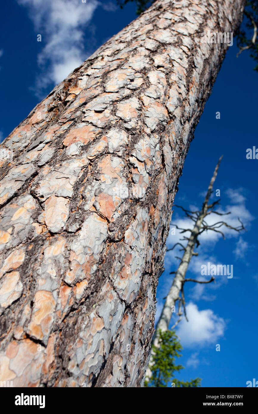 Bark and trunk of a very old pine tree ( pinus sylvestris ) - Stock Image