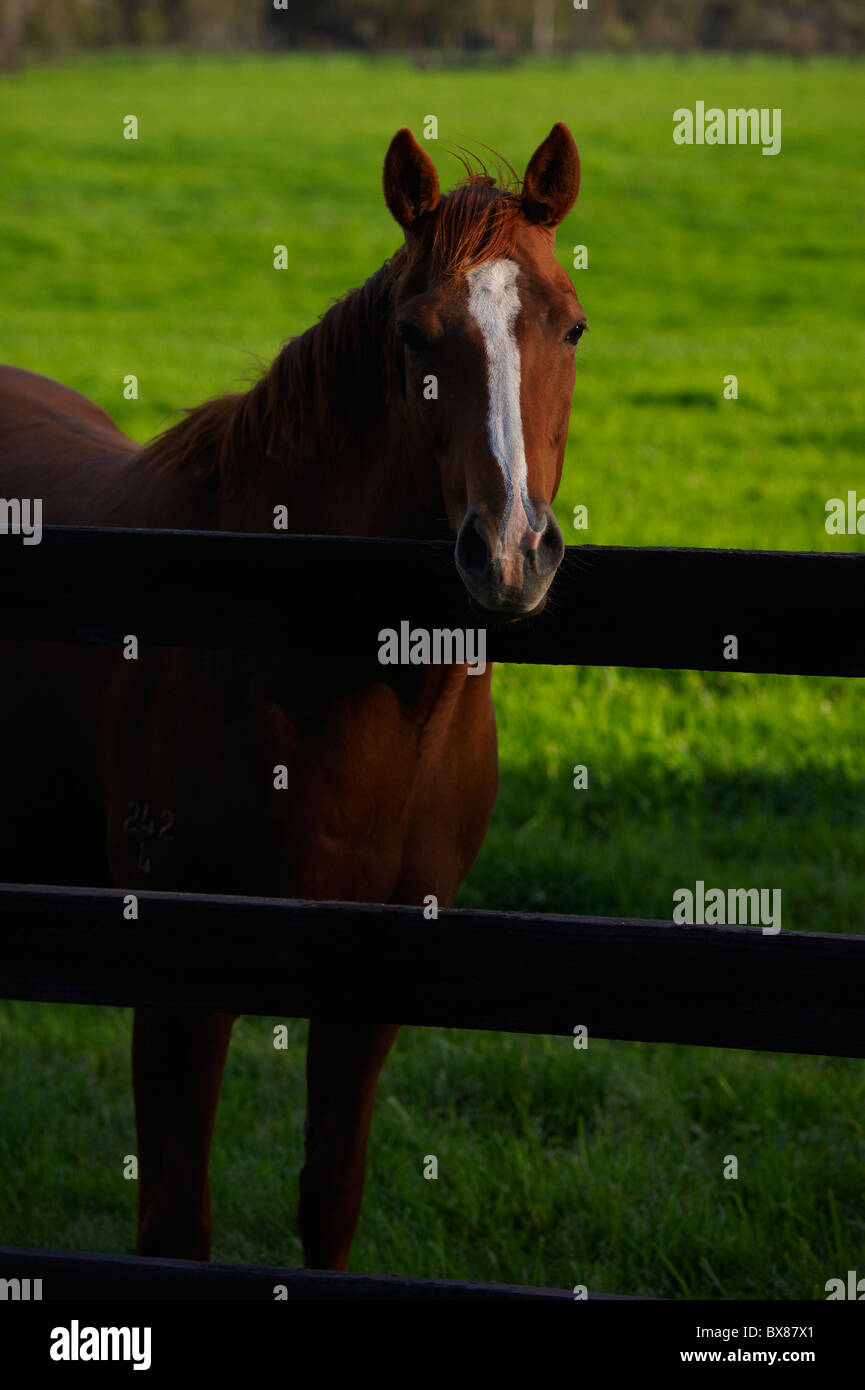 Horses grazing in lush pastures - Stock Image