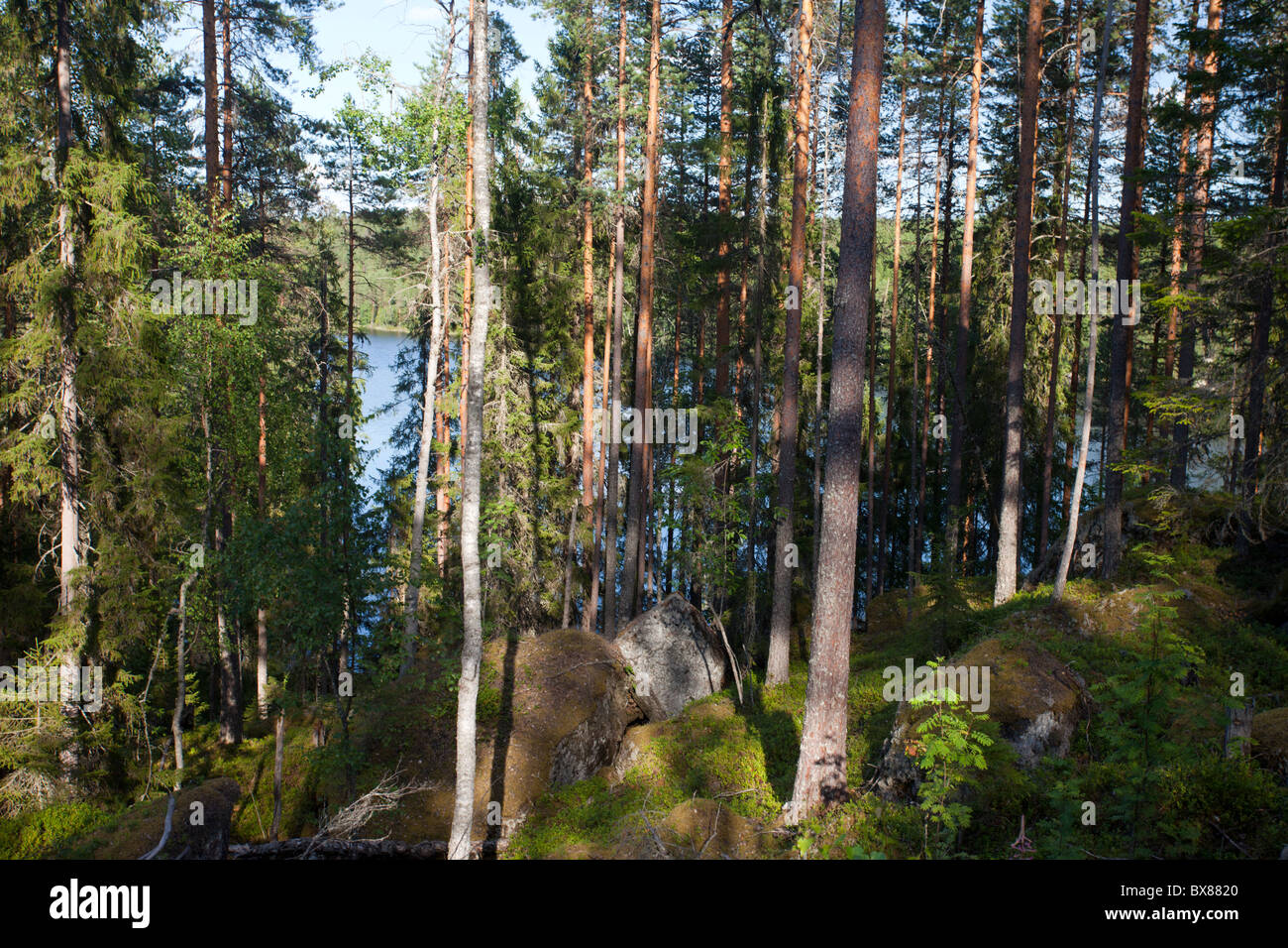 View of Finnish mixed forest with pine , spruce and birch trees , Finland - Stock Image