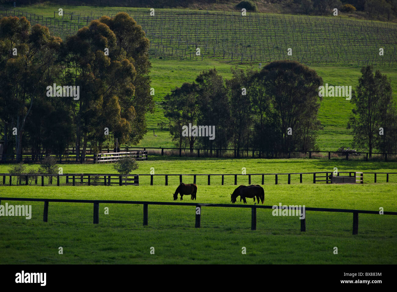 Horses grazing in lush pastures - Stock Image