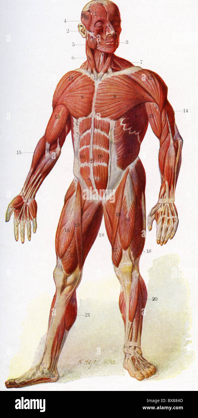 Medicine Anatomy Muscles Musculature Of Human Body Frontside