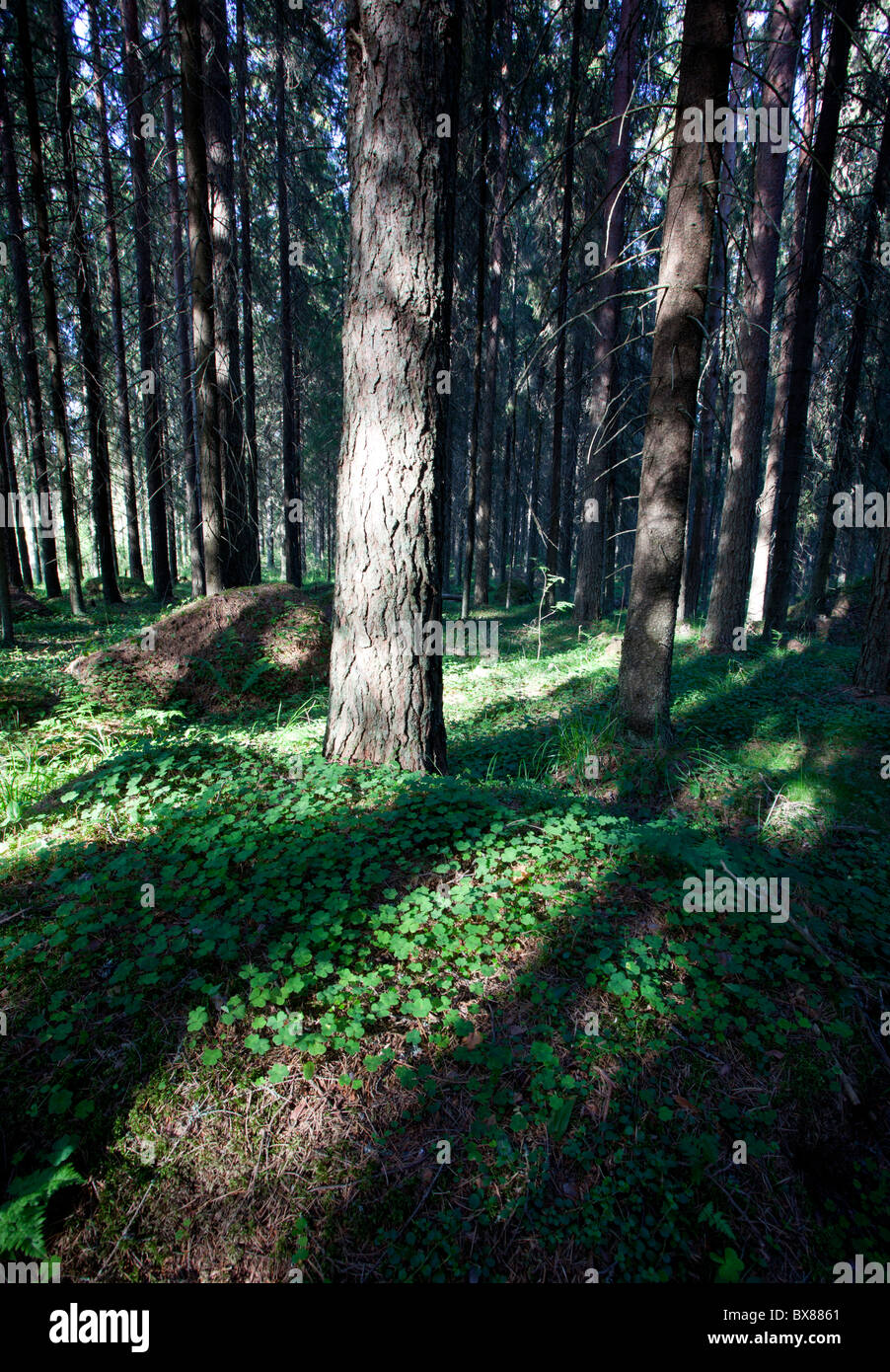 Old Finnish spruce ( picea abies ) forest , Finland - Stock Image