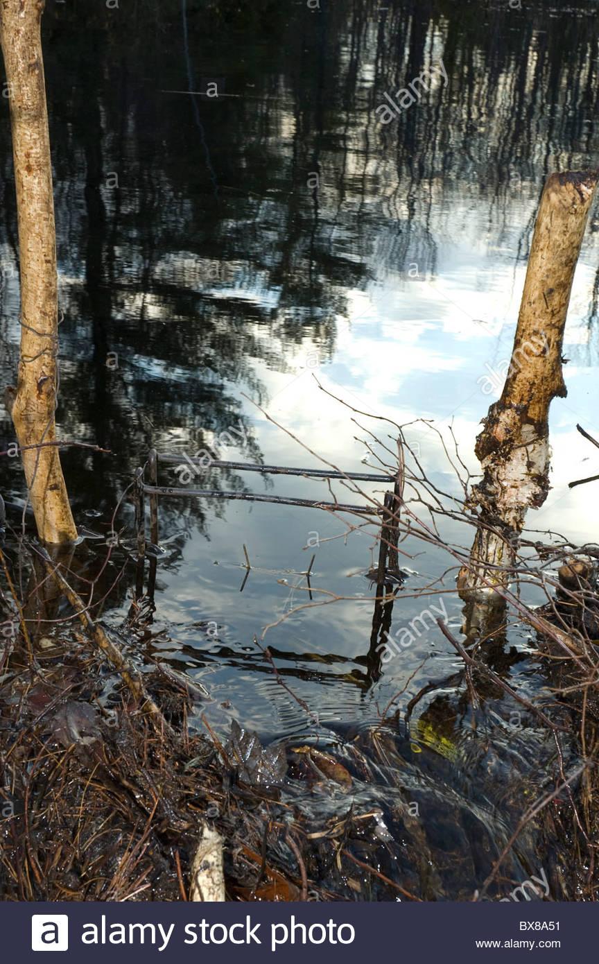 Conibear humane trap set for beaver - Stock Image