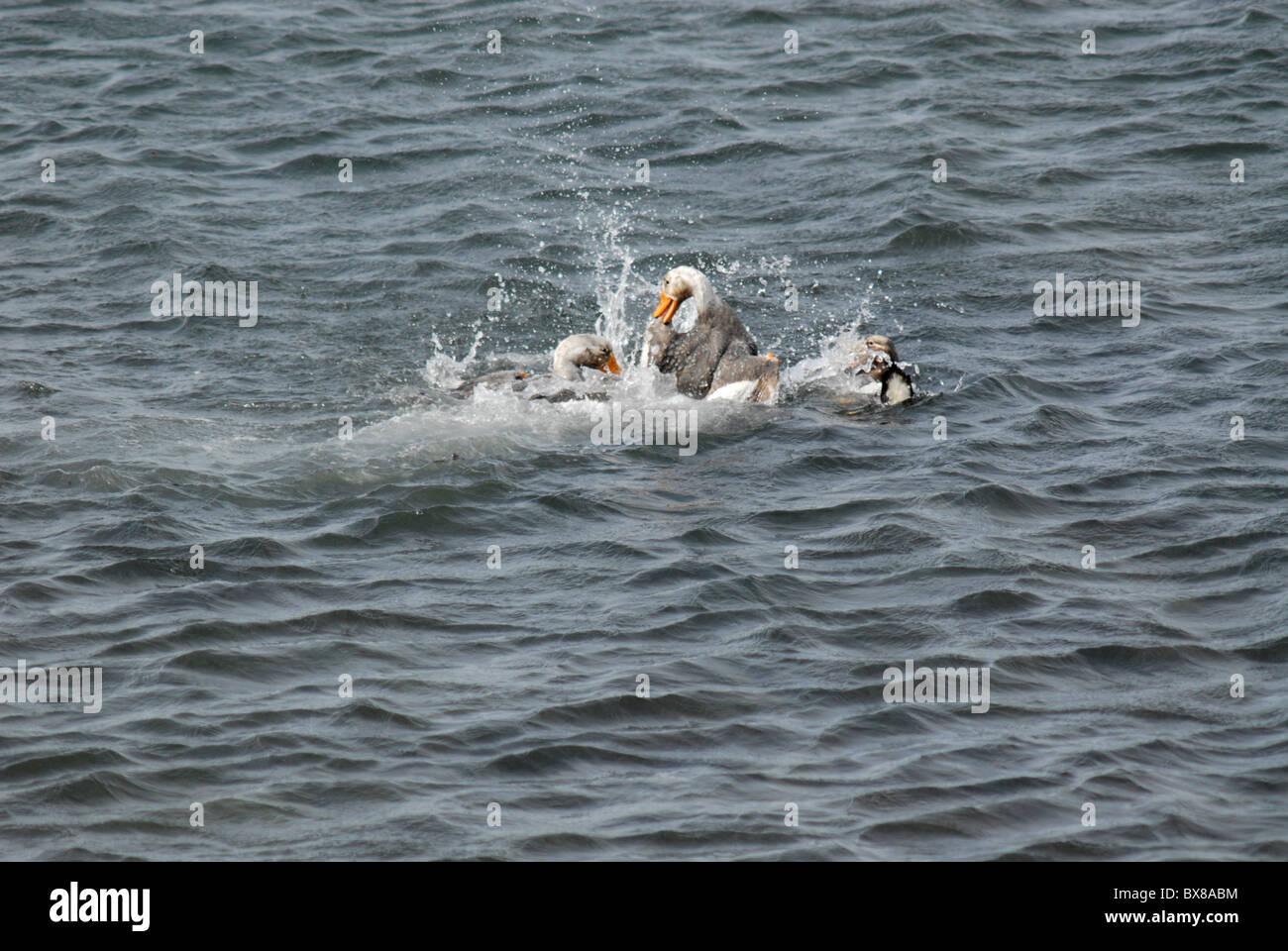 Two male Falkland Islands flightless steamer ducks (Tachyeres brachypterus), fighting in the water, Carcass Island, Stock Photo