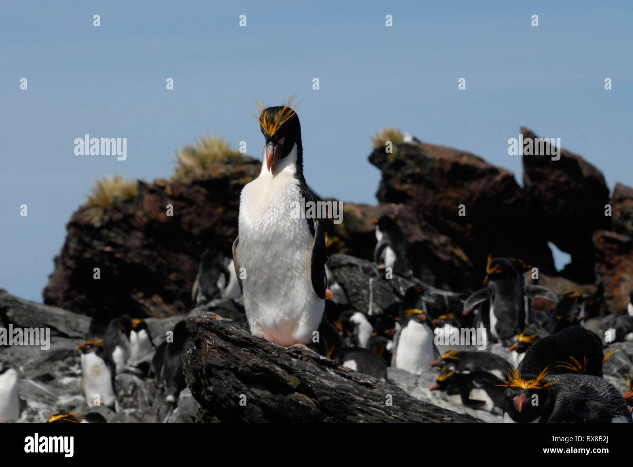 Macaroni Penguin (Eudyptes chrysolophus), cleaning its feathers, Cooper Bay, South Georgia Stock Photo