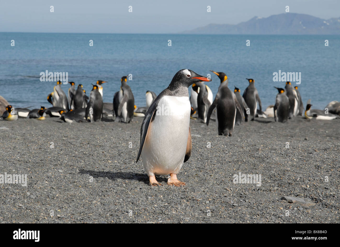 Gentoo Penguin (Pygoscelis papua) in front of King penguins at the beach, Gold Harbour, South Georgia Stock Photo