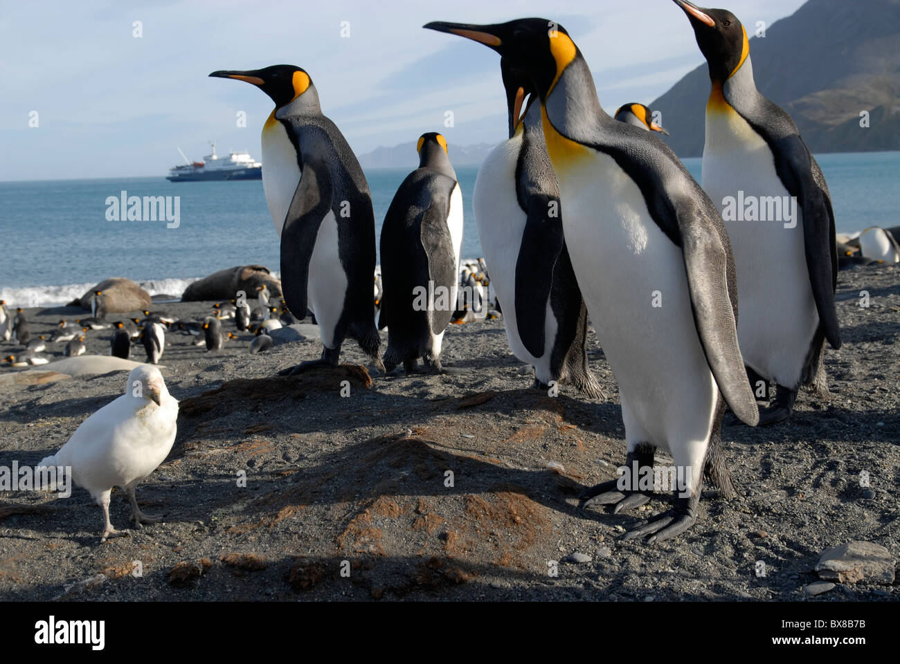 King Penguins (Aptenodytes patagonica) and a snowy sheathbill (Chionis alba), Gold Harbour, South Georgia Stock Photo