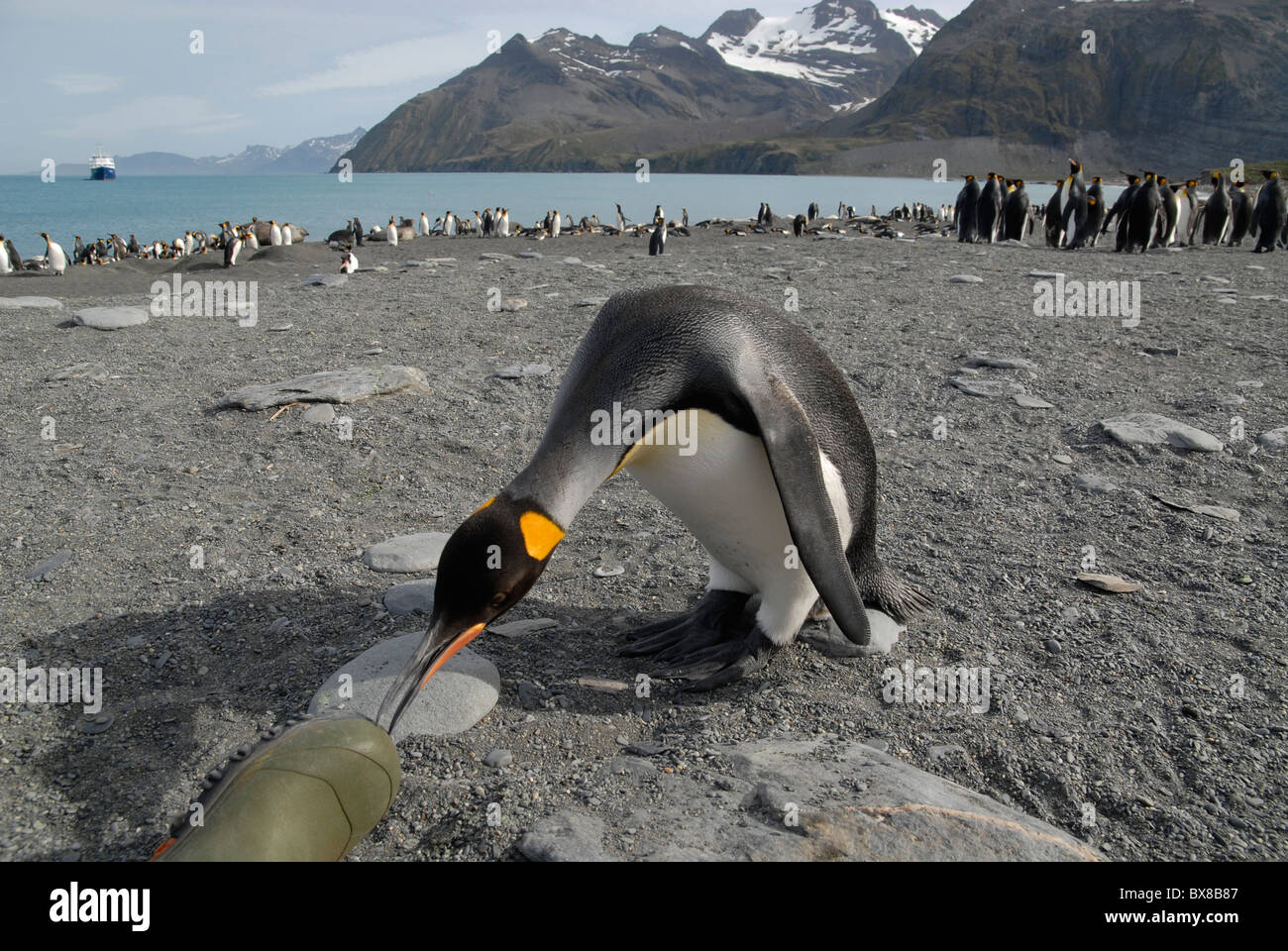 A King Penguin checking out a rubber boot of the photographer, Gold Harbour, South Georgia Stock Photo