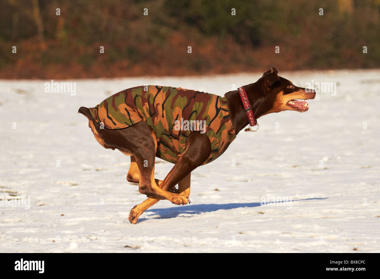 Doberman running side view on snow winter - body warmer - Stock Image