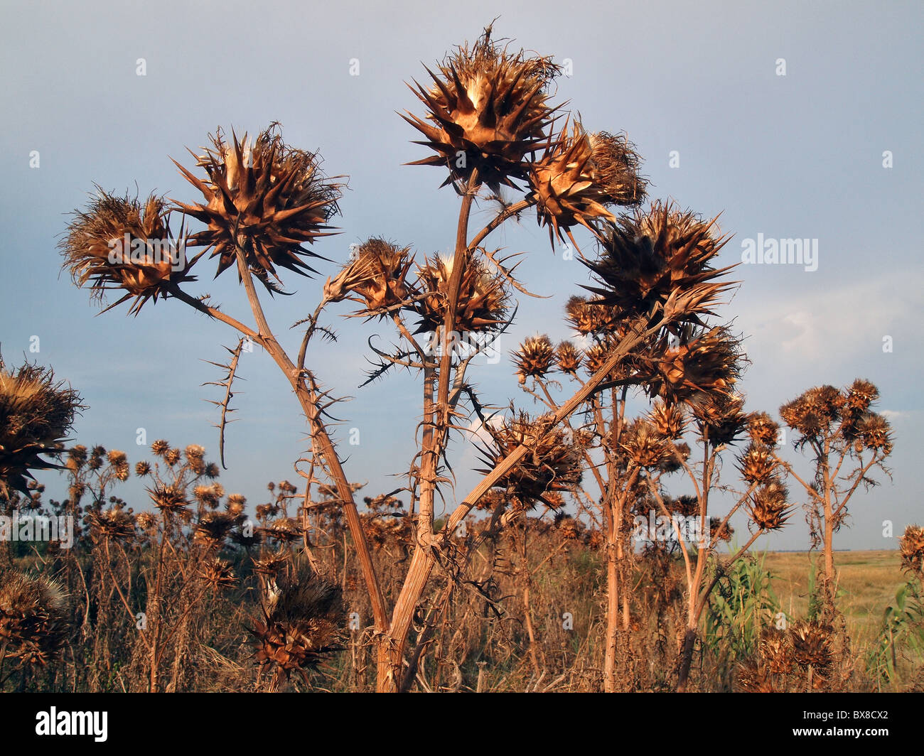 thistles in italian countryside - Stock Image
