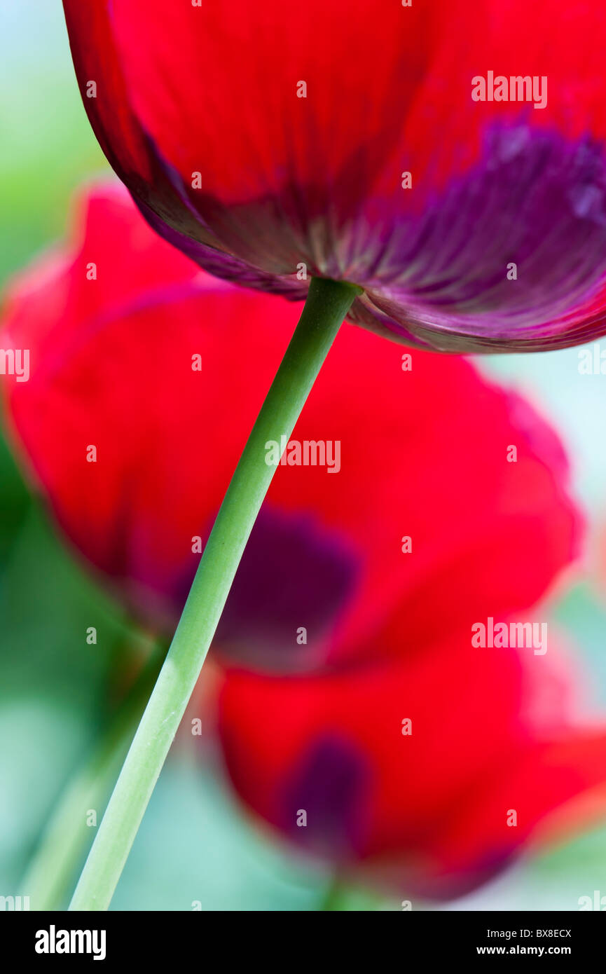 underside of red poppies - Stock Image